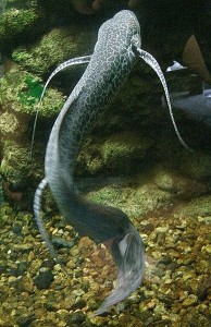 388px-Marbled_lungfish_1